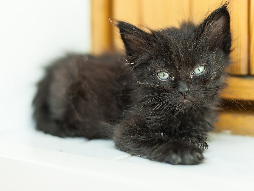 If you've found a kitten outside or notice excessive scratching, there's a good chance your kitten has fleas. Here's how to identify and remove fleas.