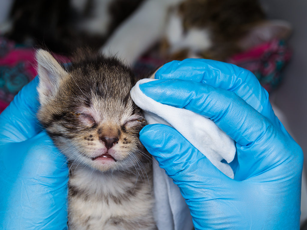 If you've rescued a kitten and you're hearing tiny sneezes and seeing discharge, your kitten likely has an upper respiratory infection (URI).