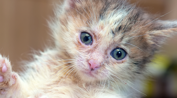 Ringworm (dermatophytosis) is one of the most common skin conditions in kittens. Here's everything you need to know, including diagnosing and treatment.